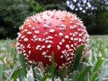 伞形毒蕈秋天危险muscaria蘑菇 免版税库存照片