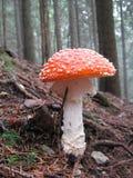 伞形毒蕈秋天危险muscaria蘑菇 免版税图库摄影