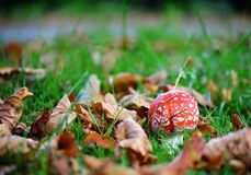 伞形毒蕈秋天危险muscaria蘑菇 图库摄影