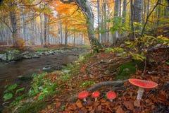 伞形毒蕈秋天危险muscaria蘑菇 免版税库存图片