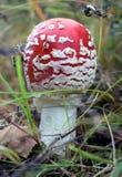 伞形毒蕈秋天危险muscaria蘑菇 库存图片