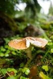 伞形毒蕈胭脂划分为的楼层森林隐藏的叶子蘑菇rubescens下 免版税库存照片
