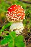伞形毒蕈自然环境的蘑菇 库存图片