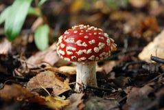 伞形毒蕈蘑菇在森林里 库存照片