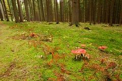 伞形毒蕈蘑菇 库存照片