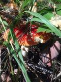 伞形毒蕈 库存图片