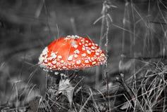 伞形毒蕈 库存照片