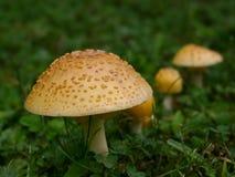 伞形毒蕈Muscaria变种福摩萨 库存照片