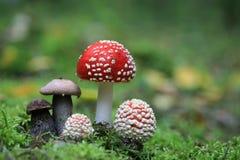伞形毒蕈muscaria和棕色盖帽牛肝菌蕈类帽子采蘑菇 免版税库存图片
