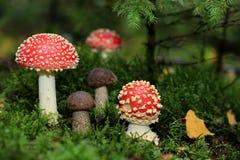伞形毒蕈muscaria和棕色盖帽牛肝菌蕈类帽子采蘑菇 库存照片