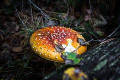 伞形毒蕈muscaria在木头的蘑菇或蛤蟆菌飞行伞形毒蕈 免版税库存图片