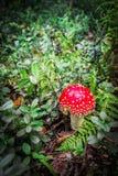 伞形毒蕈muscaria在木头的蘑菇或蛤蟆菌飞行伞形毒蕈 库存照片