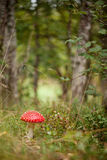 伞形毒蕈muscaria在森林里 免版税库存图片