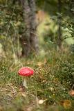 伞形毒蕈muscaria在森林里 免版税库存照片