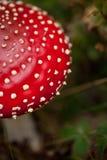 伞形毒蕈muscaria在森林里 库存图片