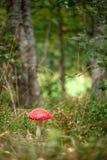伞形毒蕈muscaria在森林里 库存照片