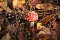 伞形毒蕈muscaria在美丽的秋天森林里 库存照片