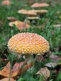 伞形毒蕈Muscaria桔子形式 免版税图库摄影