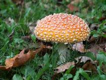 伞形毒蕈Muscaria桔子形式 免版税库存照片