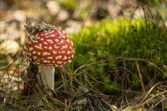 伞形毒蕈Muscaria蘑菇在秋天森林里 库存照片