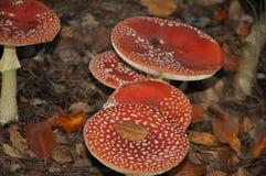 伞形毒蕈muscaria蘑菇/真菌细节在森林里在秋天 免版税库存照片