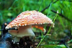伞形毒蕈muscaria蘑菇 免版税库存图片