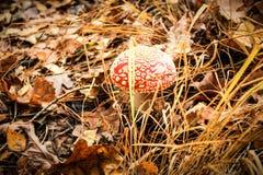 伞形毒蕈muscaria,毒蘑菇 图库摄影