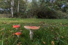 伞形毒蕈Muscaria,红色蘑菇在森林里 免版税库存照片