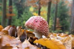 伞形毒蕈muscaria,蛤蟆菌,飞行伞形毒蕈,毒蘑菇在森林里 库存图片