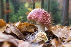 伞形毒蕈muscaria,蛤蟆菌,飞行伞形毒蕈,毒蘑菇在森林里 库存照片