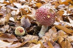 伞形毒蕈muscaria,蛤蟆菌,飞行伞形毒蕈,毒蘑菇在森林里 免版税库存照片
