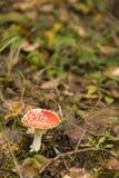 伞形毒蕈muscaria 免版税图库摄影