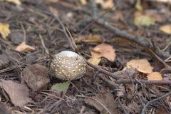 伞形毒蕈pantherina,与半球形的盖帽的小毒蘑菇与 免版税库存照片
