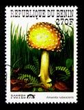 伞形毒蕈rubescens,贝宁采蘑菇serie,大约1997年 图库摄影