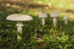 伞形毒蕈vittadinii蘑菇 库存照片