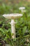 伞形毒蕈vittadinii蘑菇 库存图片