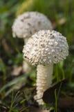伞形毒蕈vittadinii蘑菇 免版税库存图片