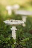伞形毒蕈vittadinii蘑菇 免版税库存照片