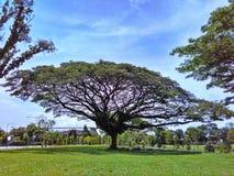 伞状的雨豆树 免版税图库摄影