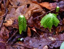 伞状的mayapple细节在春天森林里种植出现 免版税库存图片