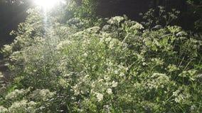 伞状花科植物 开花的aegopodium podagraria草在夏天 医药野生植物 移动与steadicam的照相机 股票视频