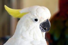 伞美冠鹦鹉 免版税库存图片