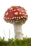 伞菌伞形毒蕈飞行蘑菇 免版税库存图片