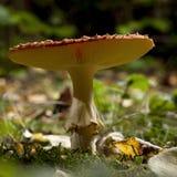 伞菌伞形毒蕈飞行蘑菇 库存照片