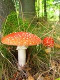 伞菌伞形毒蕈muscaia蘑菇细节在森林里 库存照片