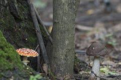 伞菌和棕色桦树牛肝菌蘑菇 免版税库存照片