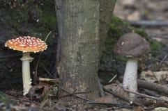 伞菌和棕色桦树牛肝菌蘑菇 库存照片
