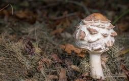 伞菌在森林地 免版税库存照片