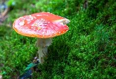 伞菌在森林里 库存照片