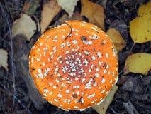 伞菌在森林里 免版税图库摄影